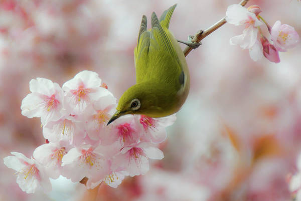 Photograph - White-eye And Cherry Blossoms by I Love Photo And Apple.