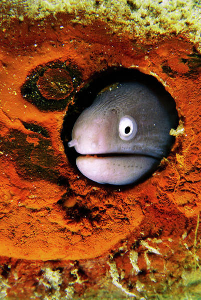 Mabul Photograph - White-eyed Moray Eel Head by Matthew Oldfield/science Photo Library