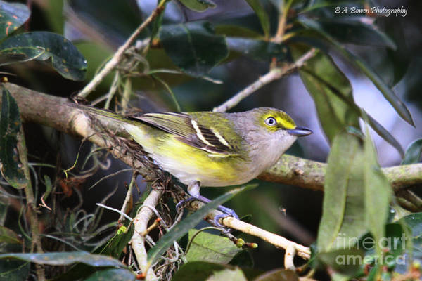 Photograph - White-eyed Vireo by Barbara Bowen