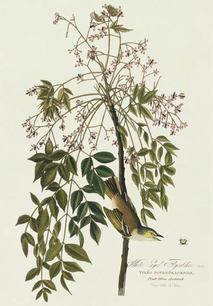Melia Photograph - White-eyed Vireo by Natural History Museum, London/science Photo Library