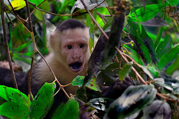 Photograph - White-faced Capuchin Monkey by Gary Keesler