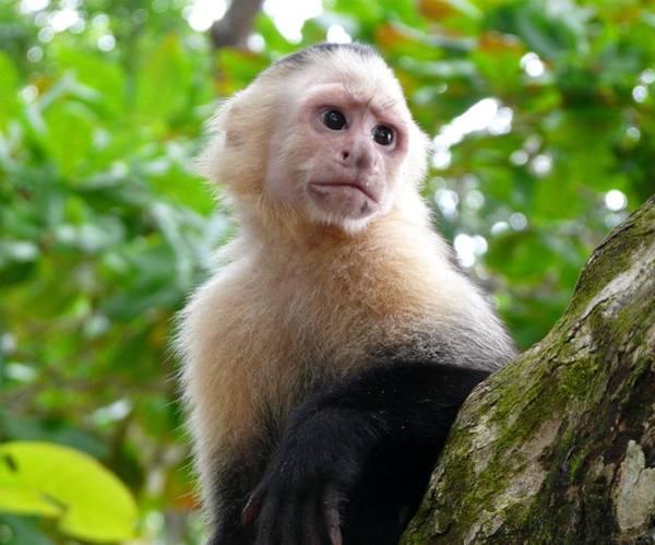 Cahuita Photograph - White-faced Capuchin Monkey by Nicolas Boivin