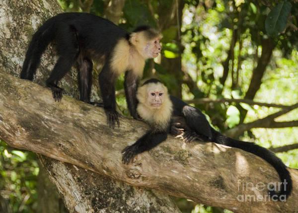 Photograph - White-faced Capuchins by Dan Suzio