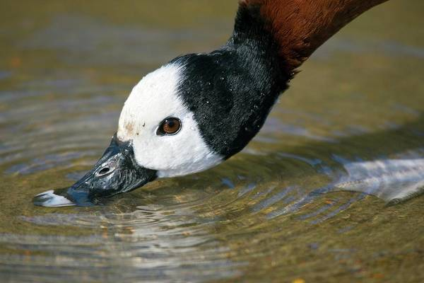 Wall Art - Photograph - White-faced Whistling Duck by John Devries/science Photo Library