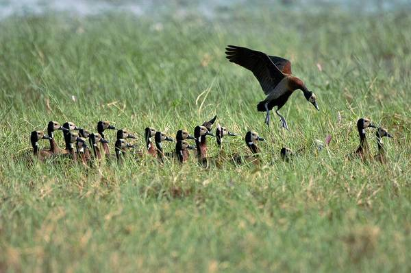 Wall Art - Photograph - White-faced Whistling Ducks by Dr P. Marazzi/science Photo Library