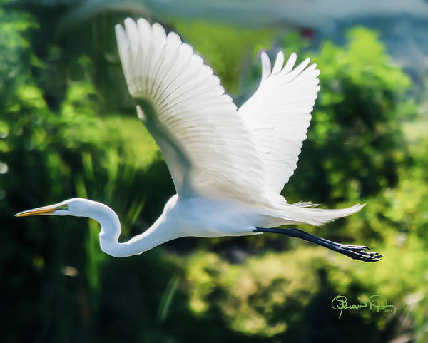 Photograph - White Flight by Susan Molnar