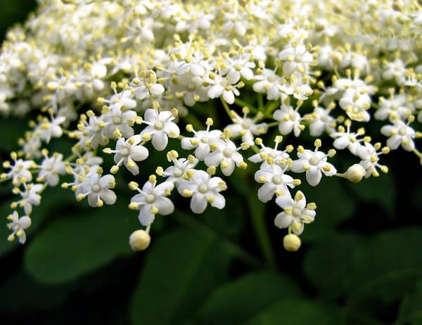 Photograph - White Flowers by Daliana Pacuraru