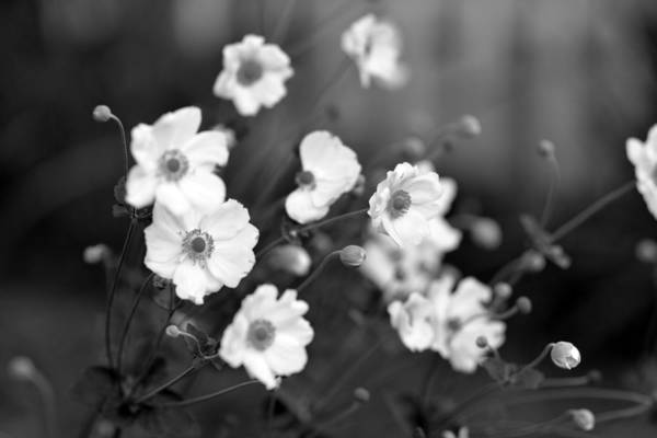 Photograph - White Flowers In Metroparks by Clint Buhler