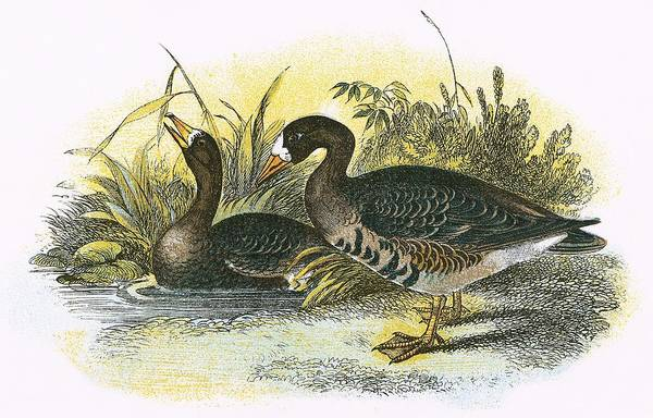 Wall Art - Painting - White Fronted Goose by English School
