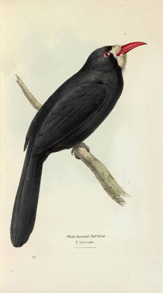 1855 Photograph - White-fronted Nunbird by Natural History Museum, London