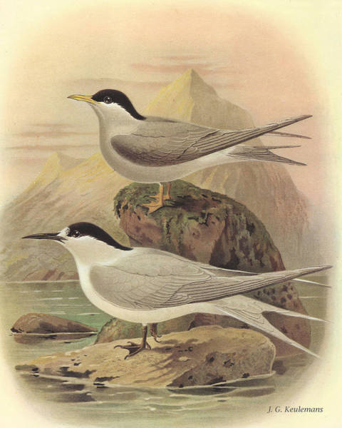 Tern Wall Art - Painting - White Fronted Tern And Black Fronted Tern by Dreyer Wildlife Print Collections