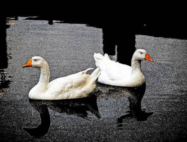 Photograph - White Geese by Randy Sylvia
