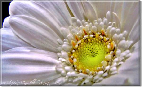 Photograph - White Gerber Daisy Macro Beauty by Danielle  Parent