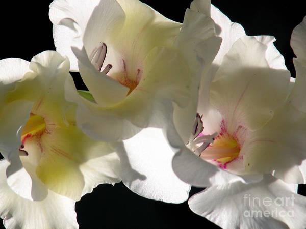 Photograph - White Gladioli Flowers Closeup by Rose Santuci-Sofranko