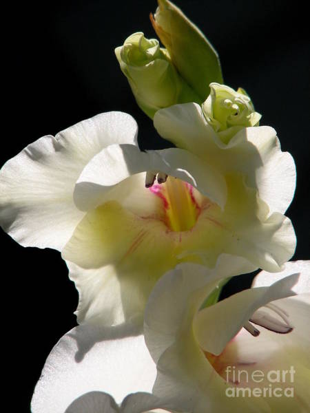 Photograph - White Gladioli Flowers Macro by Rose Santuci-Sofranko
