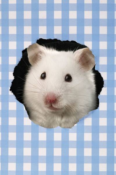Hamster Photograph - White Hamster by MGL Meiklejohn Graphics Licensing