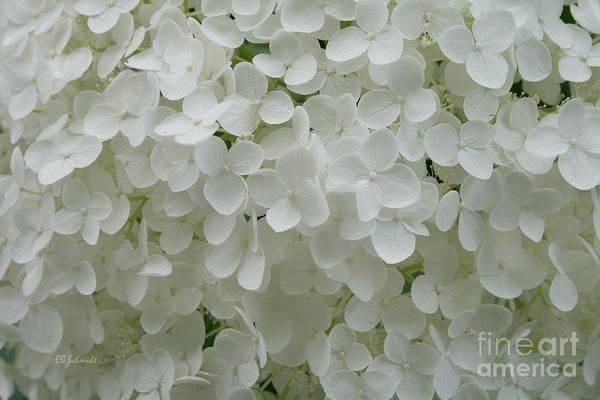 Photograph - White Hydrangea by E B Schmidt