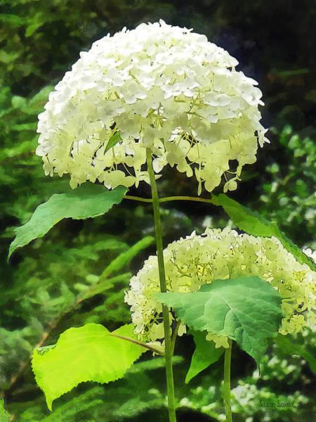 Photograph - White Hydrangea In Garden by Susan Savad