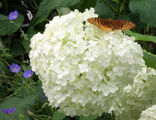 White Hydrangea With Butterfly Art Print