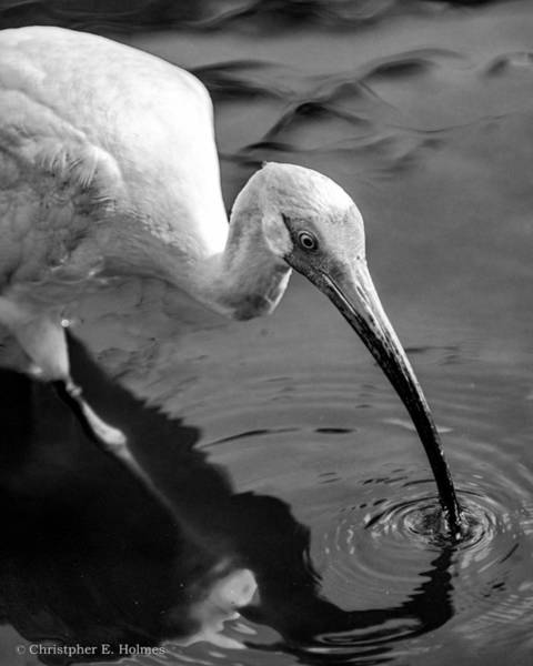 Photograph - White Ibis - Bw by Christopher Holmes