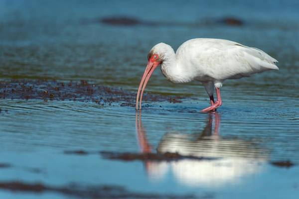 White Ibis Wall Art - Photograph - White Ibis Feeding by Christopher Swann/science Photo Library