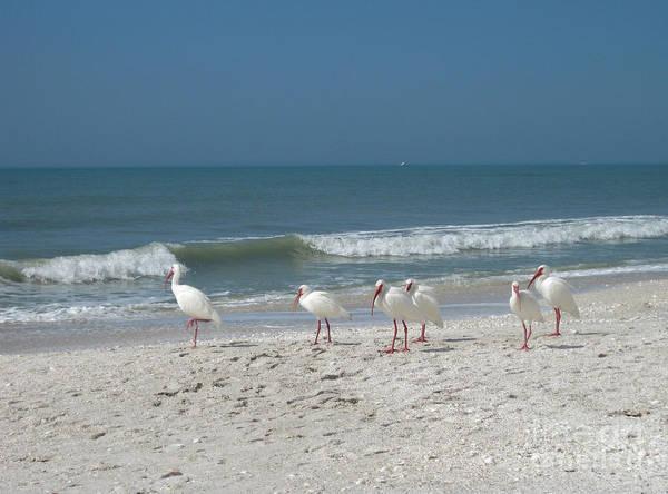 Shorebird Photograph - White Ibis In Naples Florida by Heidi Hermes