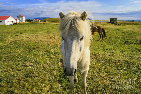 White Icelandic Pony Art Print