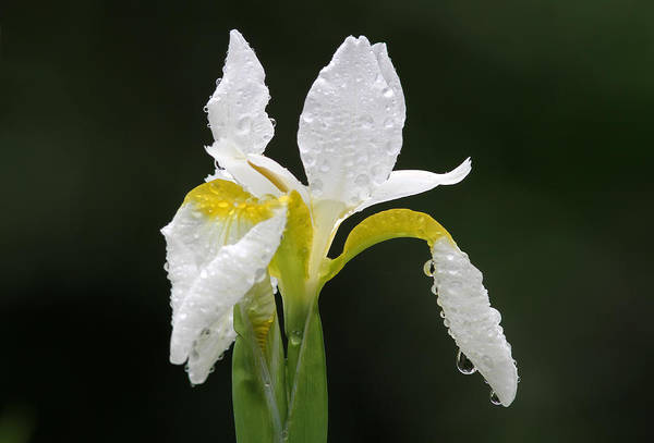 Photograph - White Iris by Juergen Roth