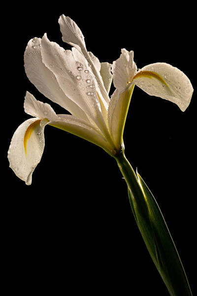 Photograph - White Iris by Mary Jo Allen