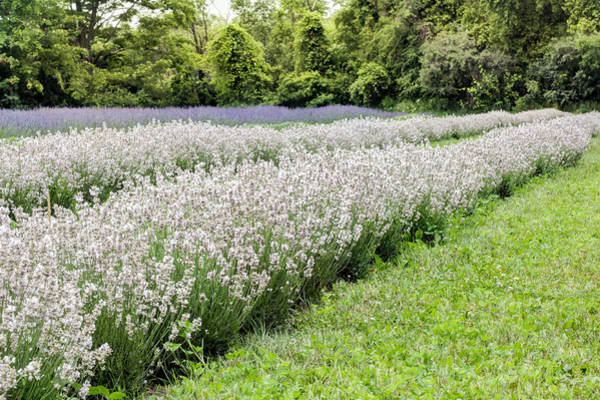Photograph - White Lavender by Nick Mares