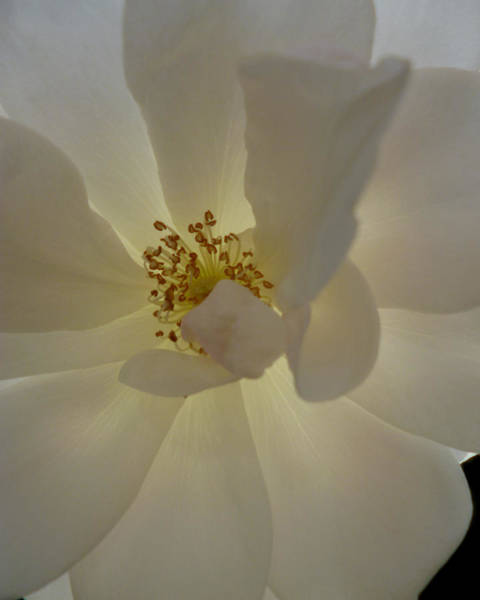 Camelia Photograph - White Light by Anthony Renner