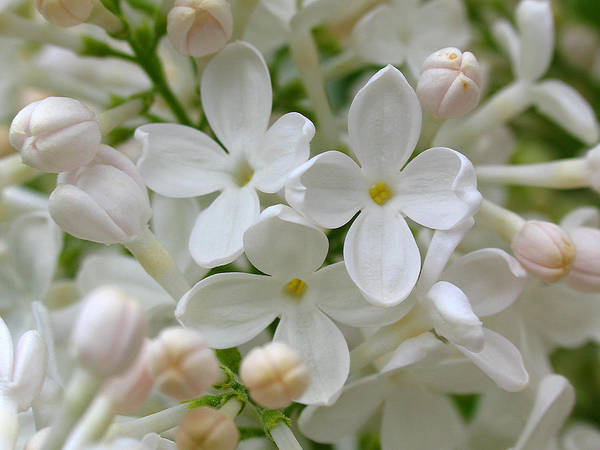 Photograph - White Lilac by Juergen Roth