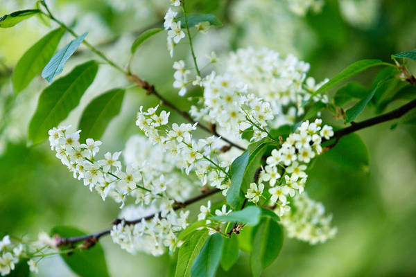 White Background Wall Art - Photograph - White Lilac by Nailia Schwarz