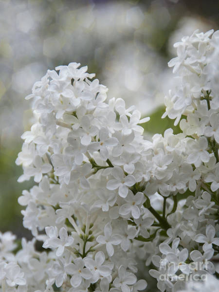 Photograph - White Lilacs In Bloom by Juli Scalzi