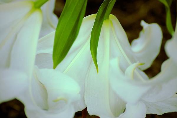 Photograph - White Lily Bows  by Beth Akerman