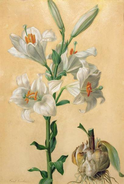 Amaryllis Painting - White Lily by Carl Franz Gruber