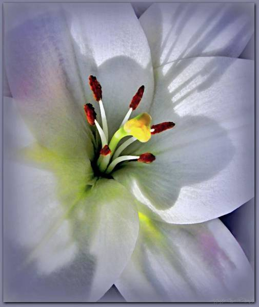 Photograph - White Lily Close Up With Shadows  by Danielle  Parent