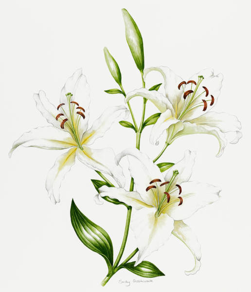 White Lily Painting - White Lily by Sally Crosthwaite