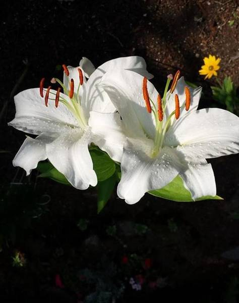 Photograph - White Lily  by Sharon Duguay