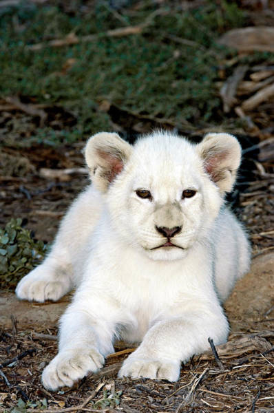 Wall Art - Photograph - White Lion Cub by Tony Camacho/science Photo Library