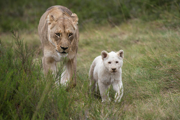 Lion Cubs Photograph - White Lion (panthera Leo by Pete Oxford