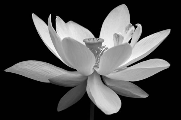 White Lotus Art Print