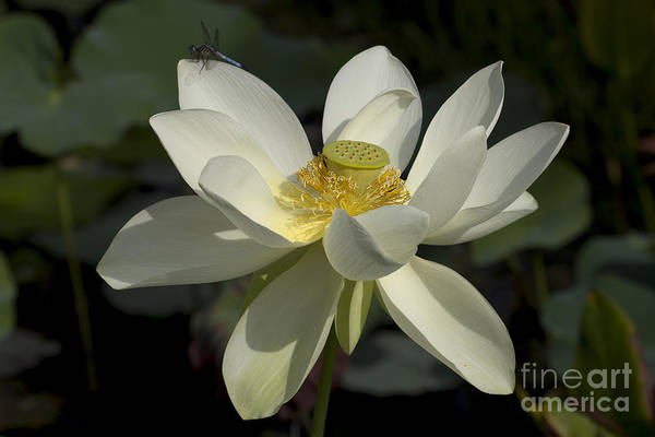 Photograph - White Lotus by Meg Rousher