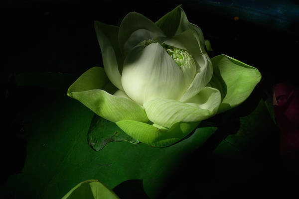 Photograph - White Lotus Unfolding by August Timmermans