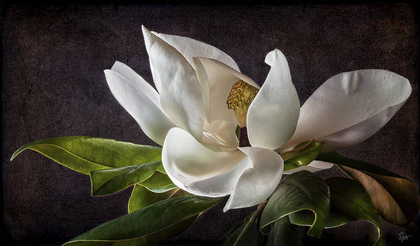 Photograph - White Magnolia by Endre Balogh
