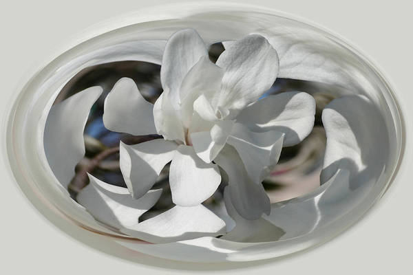 Photograph - White Magnolia Series 512 by Jim Baker