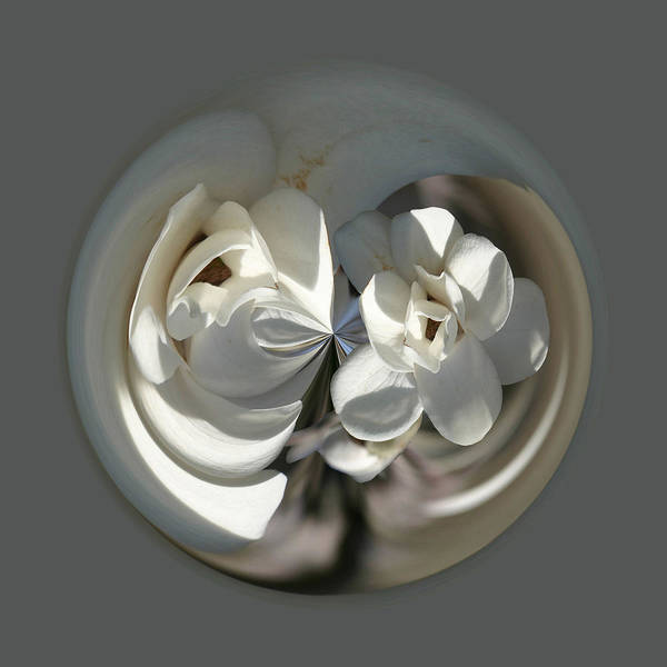 Photograph - White Magnolia Series 513 by Jim Baker
