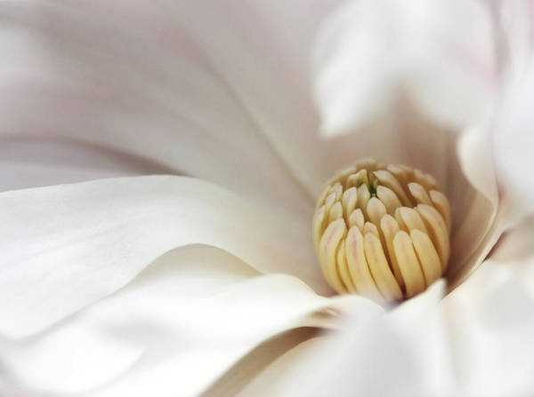 Photograph - White Magnolia by Trina  Ansel