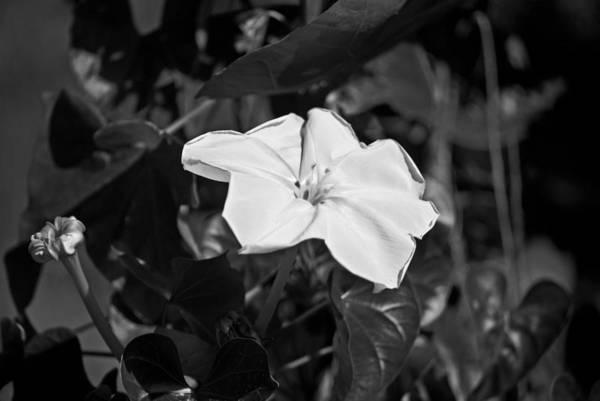 Photograph - White Morning Glory B W Pla 634 by G L Sarti