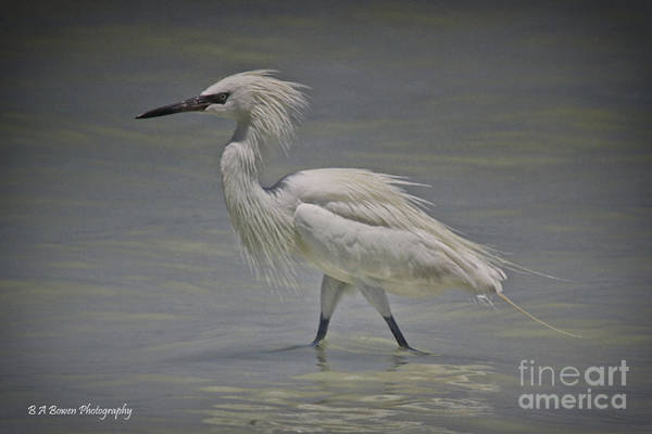 Photograph - White Morph Reddish Egret by Barbara Bowen